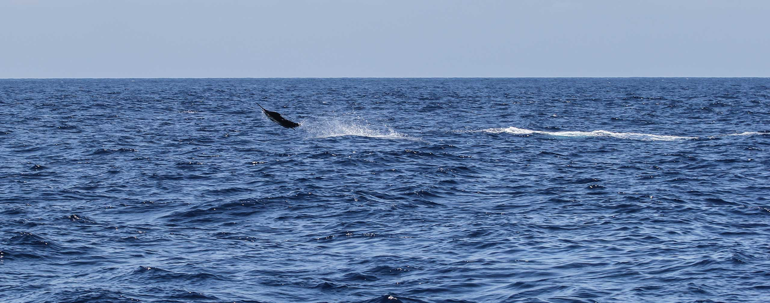 Blue Marlin displaying behind Unreel