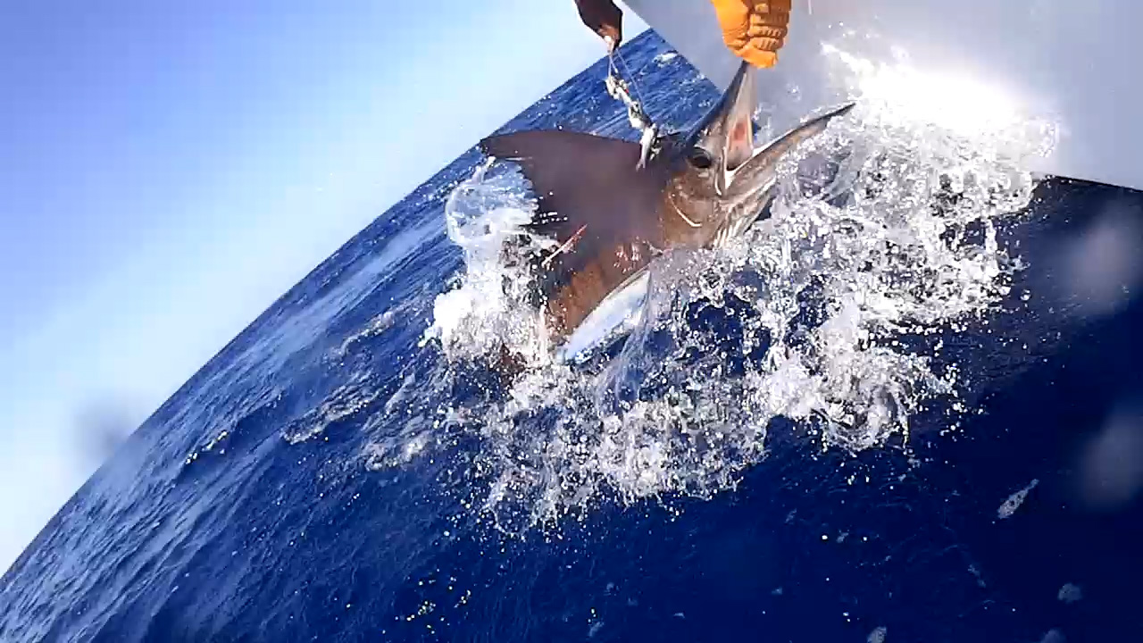 41 striped marlin deep sea marlin fishing unreel watamu kenya coast 101