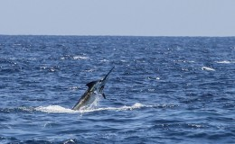 13-deep-sea-marlin-fishing-unreel-watamu-kenya-coast-58.jpg
